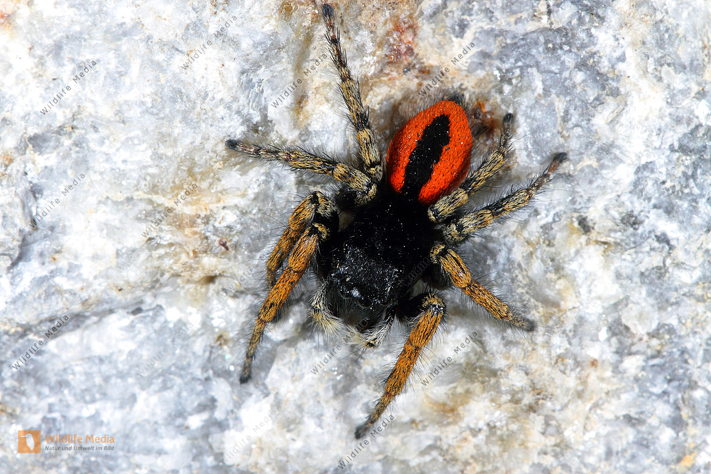 Rote Springspinne