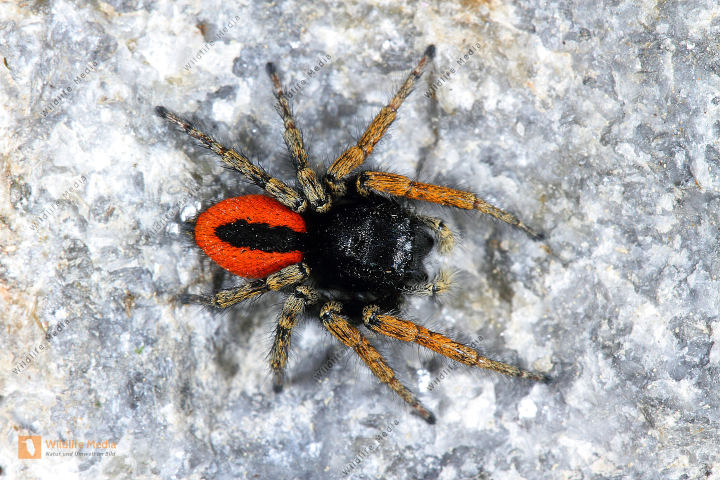 RoteSpringspinne