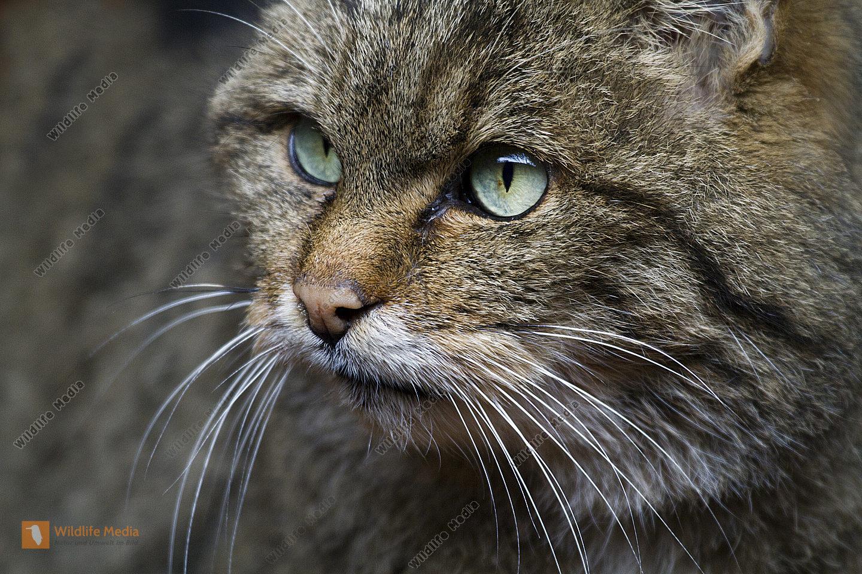 Wildkatze-Portrait