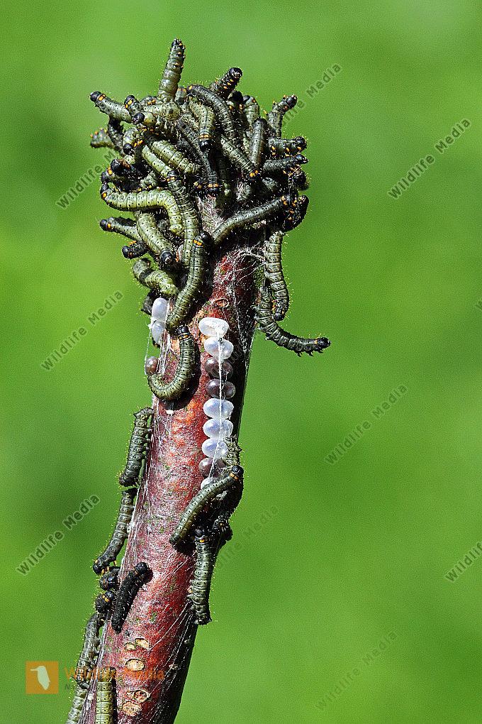 Birkenspinner  Jungraupen