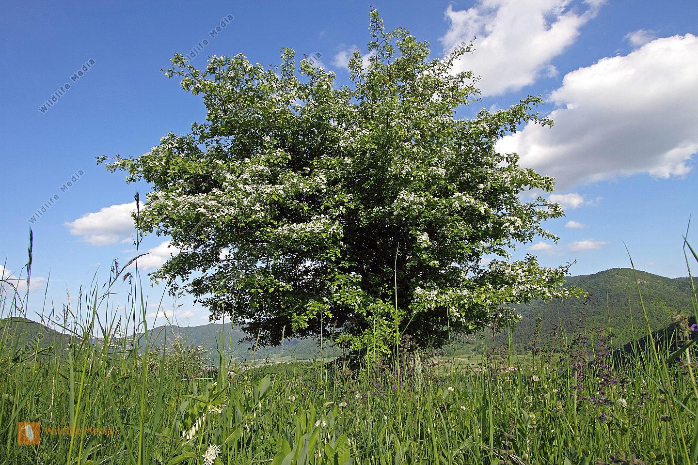 Eingriffeliger Weißdorn Blüte