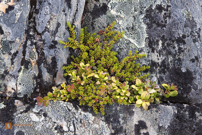 Felsen und Krähenbeere