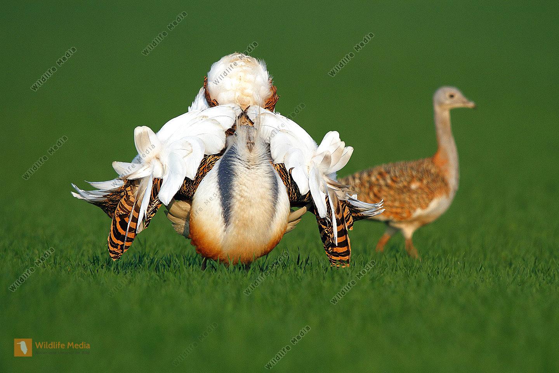 Großtrappe balzender Hahn mit Henne im Hintergrund