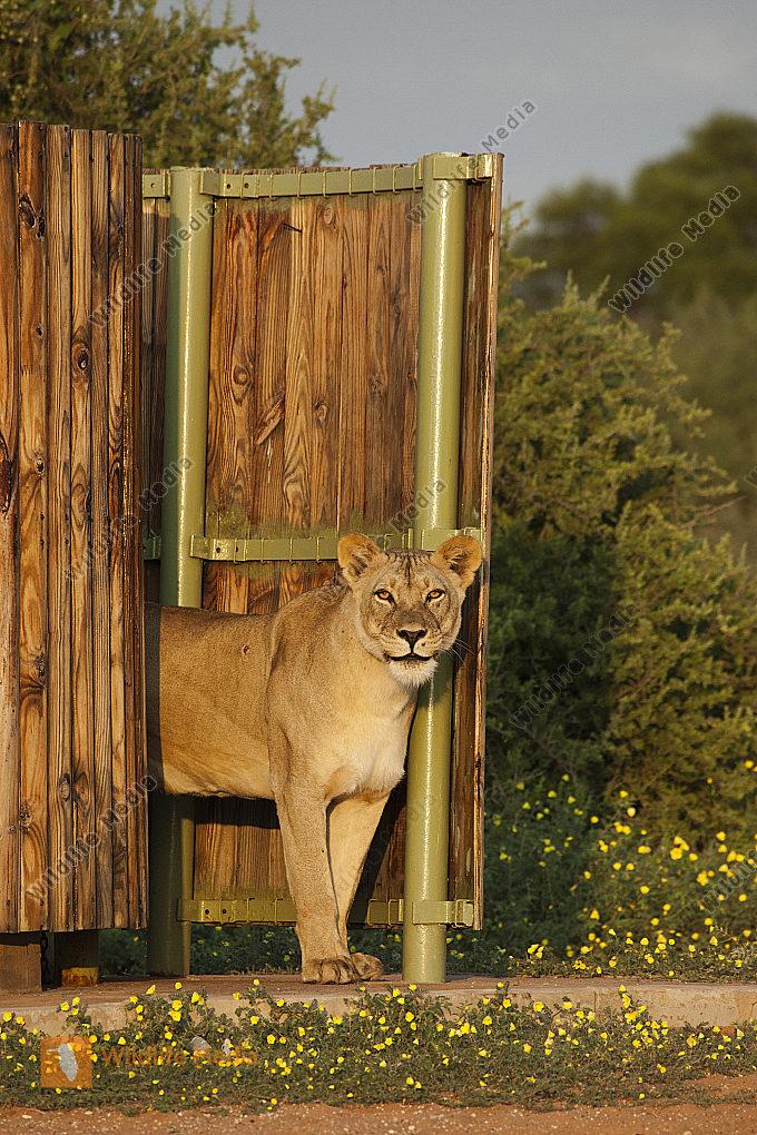 Löwin in der Dusche