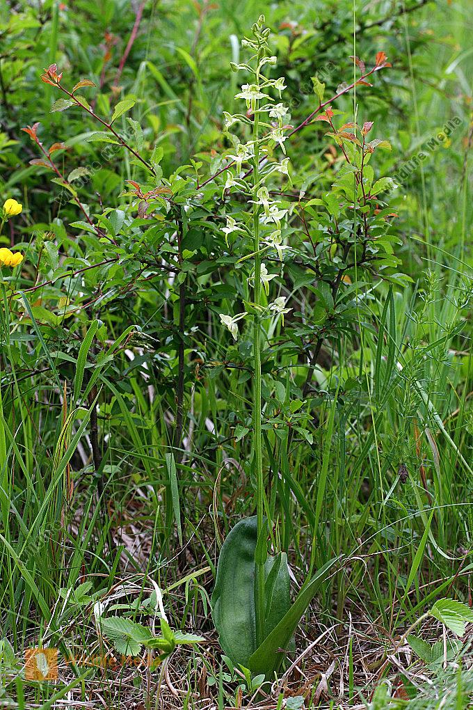 Grüne Waldhyazinthe