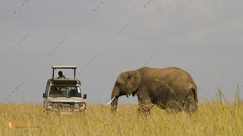 Afrikanischer Elefant und Safariwagen