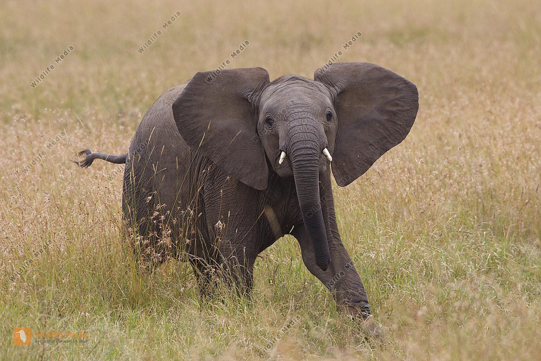 Afrikanischer Elefant Jungtier
