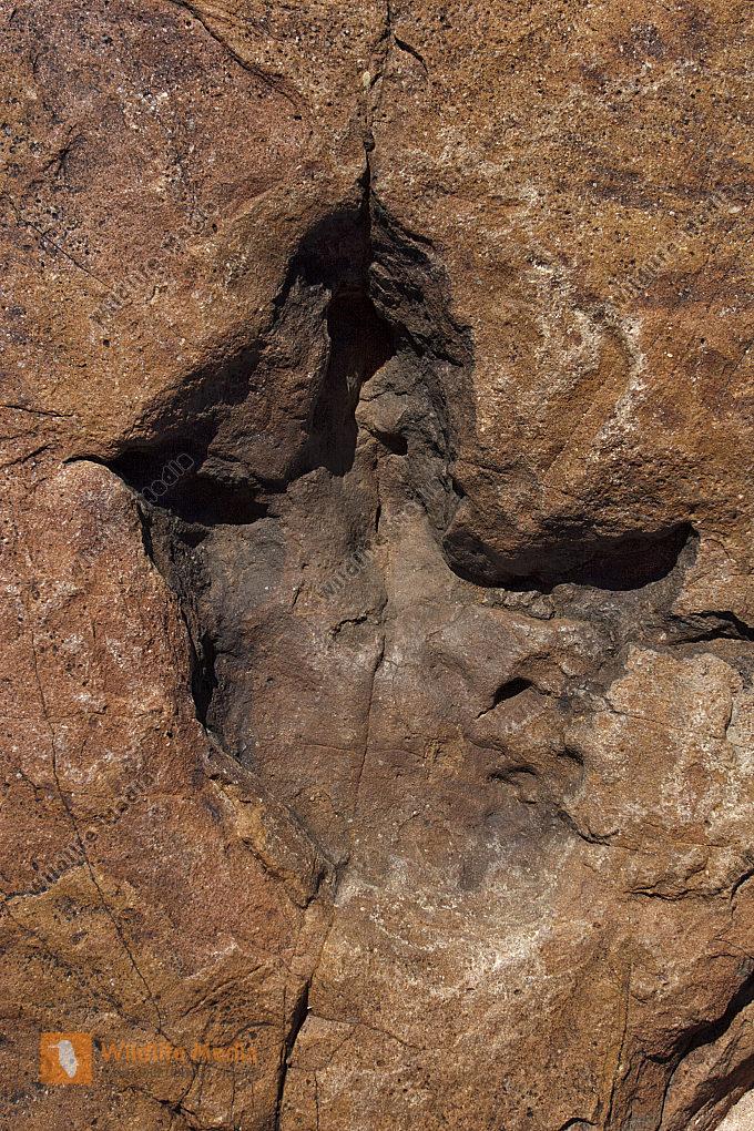 Dinosaurier Fussspur versteinert