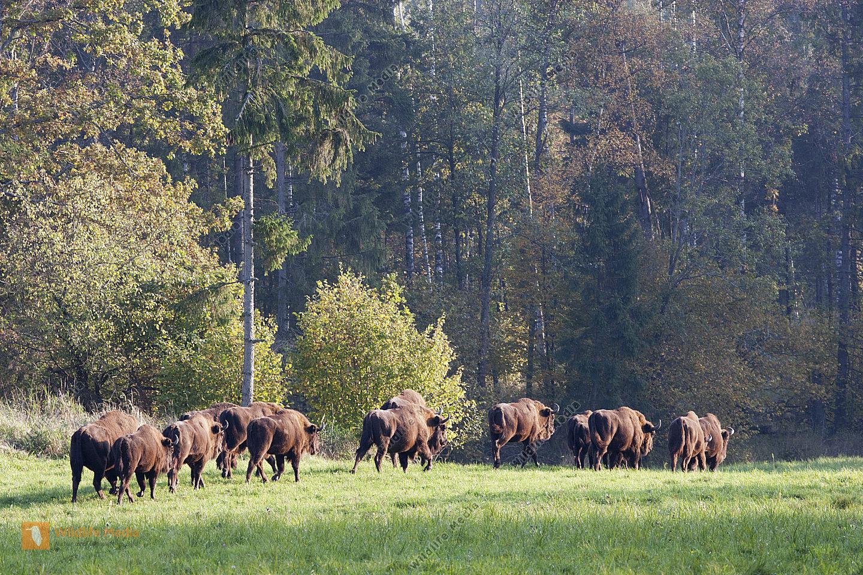 Wisent Herde