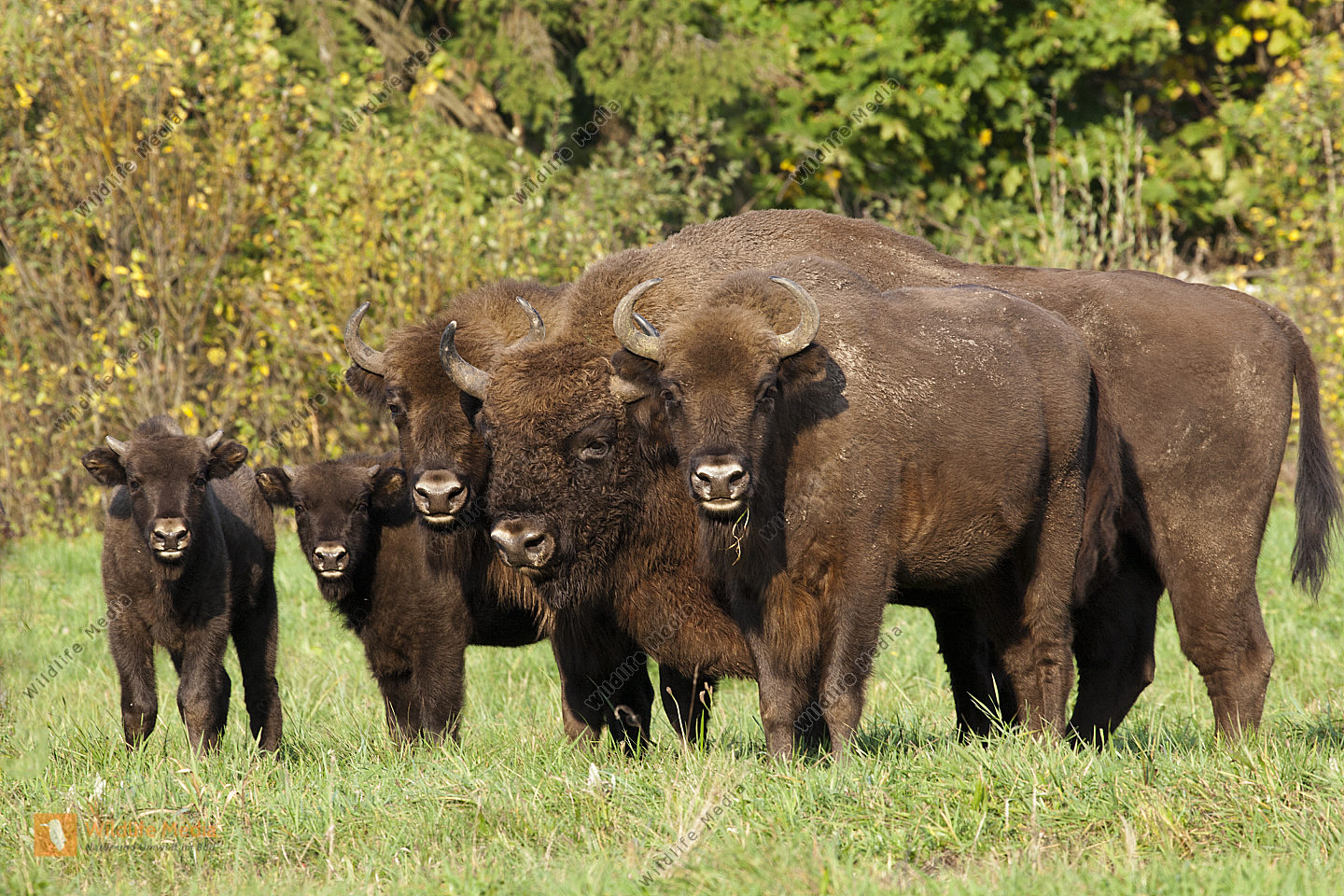 Wisent Gruppe