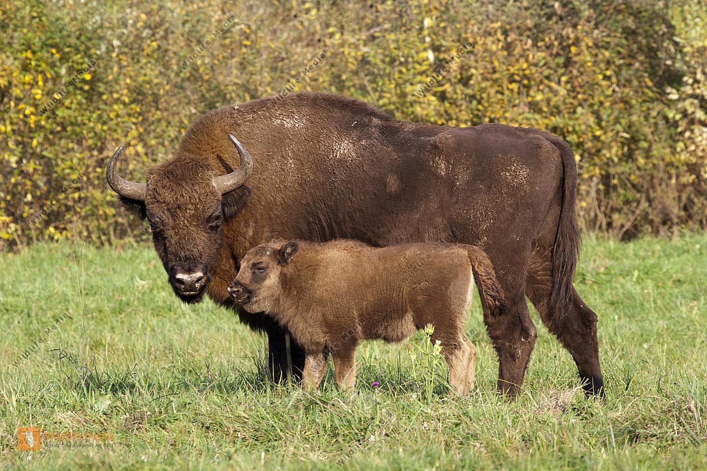 Wisent Kuh und Kalb