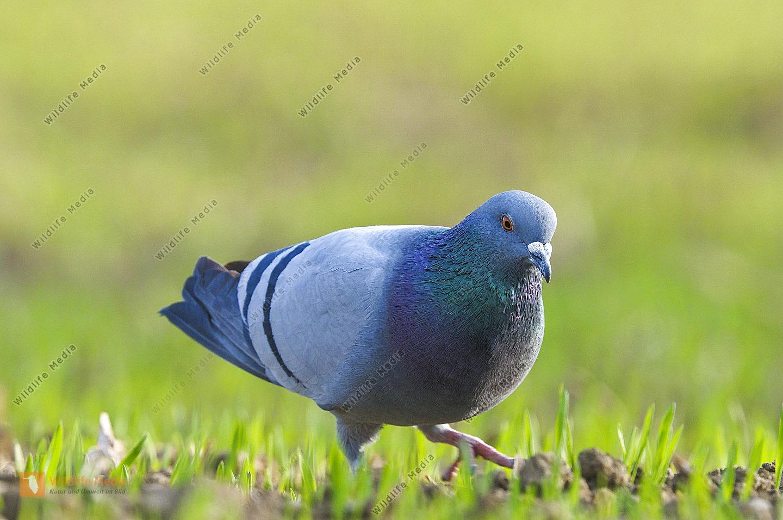 Haustaube Columba livia domestica feral pigeon