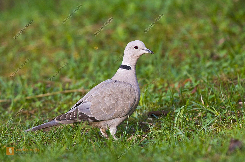 Türkentaube Streptopelia decaocto Collared Dove