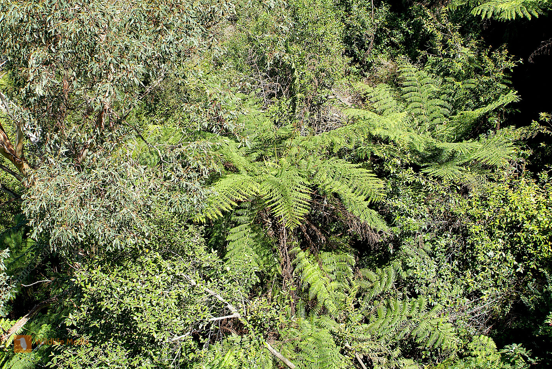 Australia fern trees and gum trees
