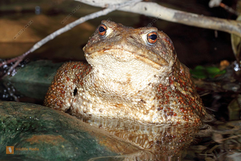 Erdkröte Weibchen