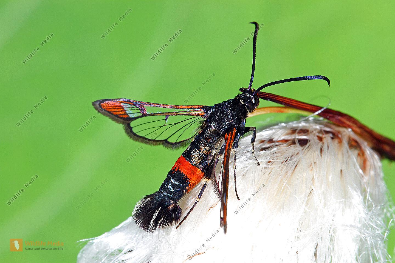 Kleiner Weidenglasflügler Männchen