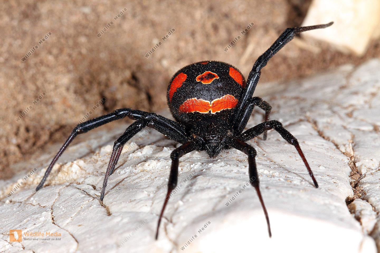 schwarzewitwe.info – Eine der meist gefürchteten Spinnen der Welt