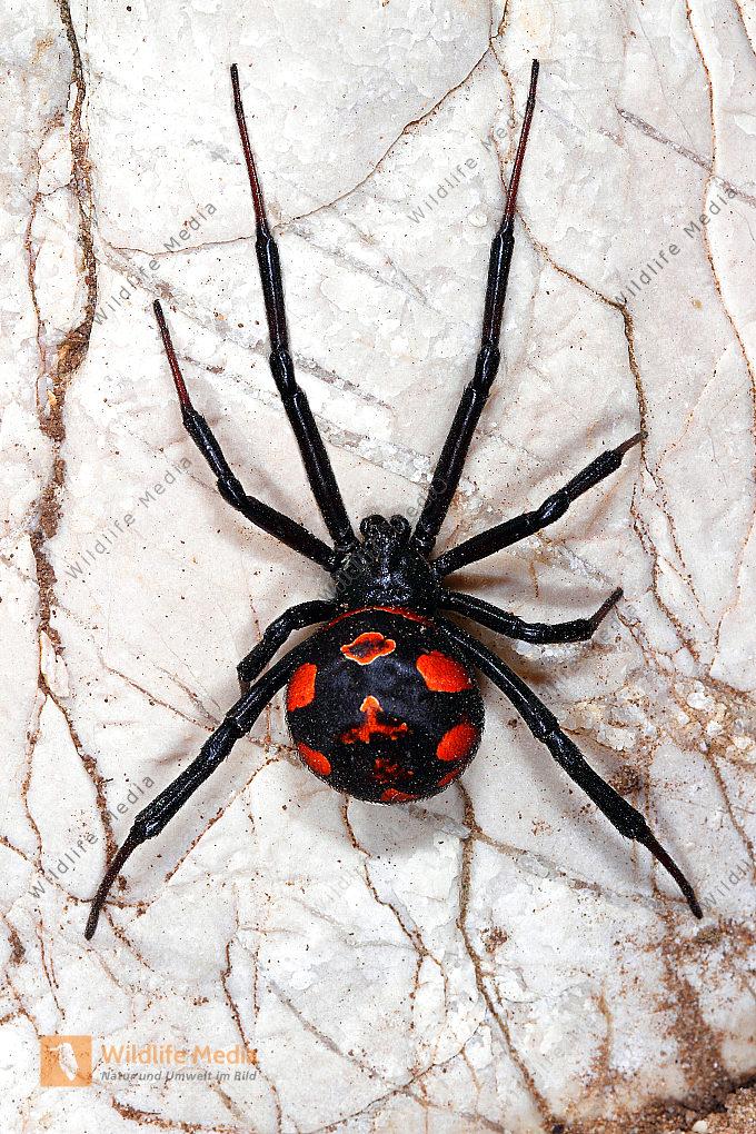 Falsche Schwarze Witwe (Spinnen) | Steatoda paykulliana ...