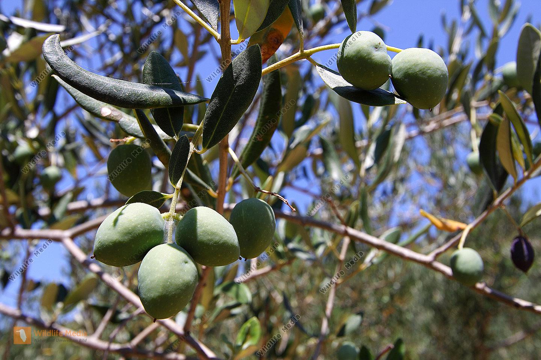 olivenbaum wildlife media die naturbildagentur. Black Bedroom Furniture Sets. Home Design Ideas