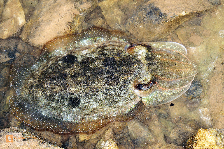 Gewöhnlicher Tintenfisch