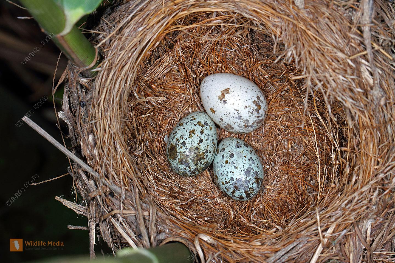 Kuckuck-Ei in Drosselrohrsänger Nest