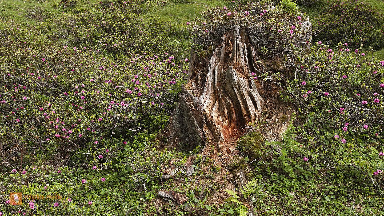 Almrausch und Totholz