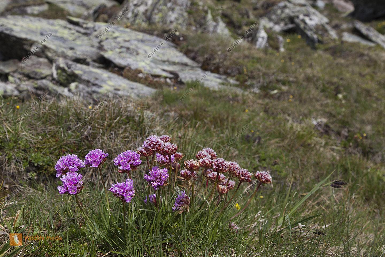 Alpen-Grasnelke