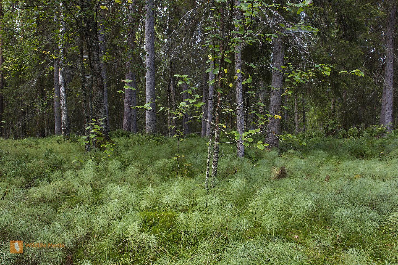 Nordischer Wald