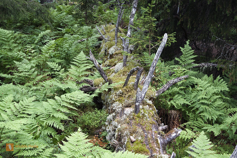 Nordischer Bergwald