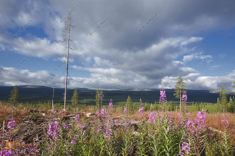Weidenröschen im Gebirge