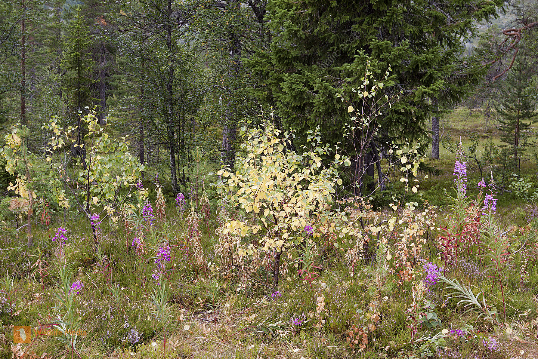 Weidenröschen am Waldrand