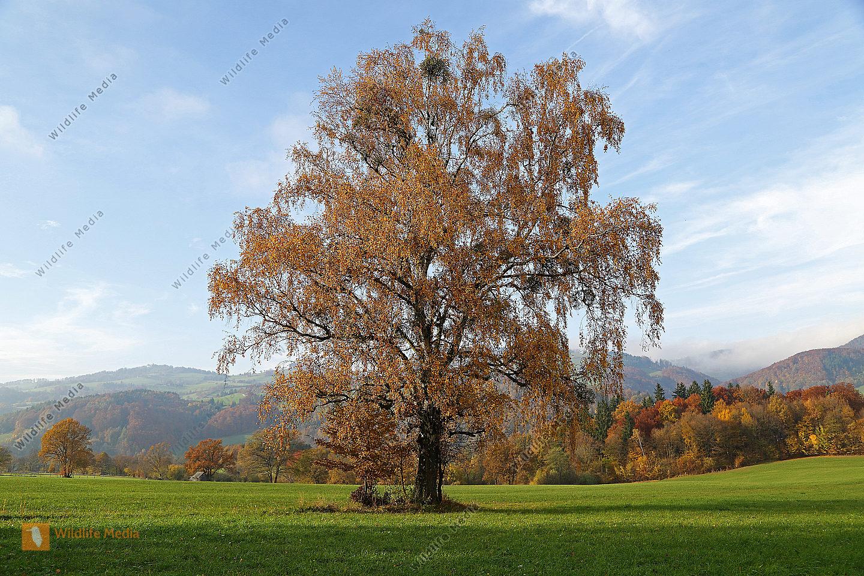 Birke im Herbstlaub