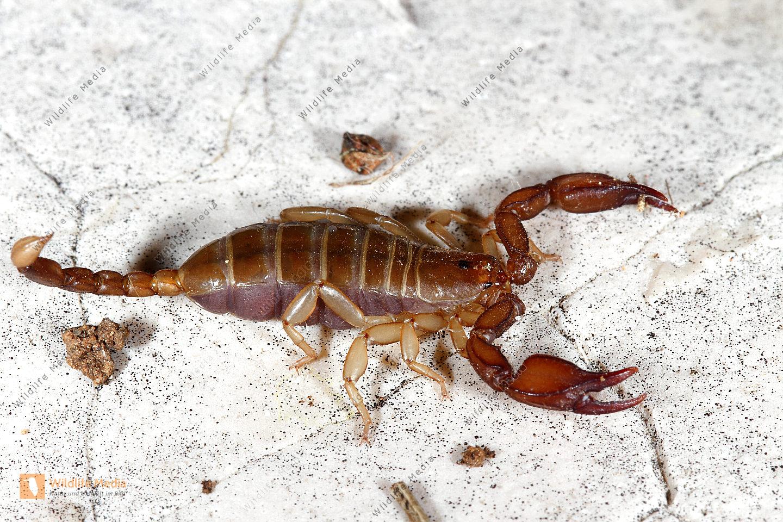 Alpen-Skorpion