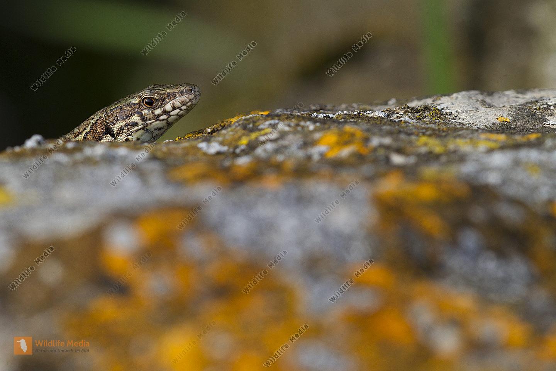 Mauereidechse Männchen
