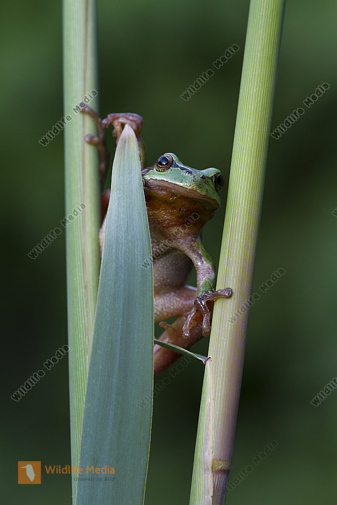 Laubfrosch / Common tree frog / hyla arborea