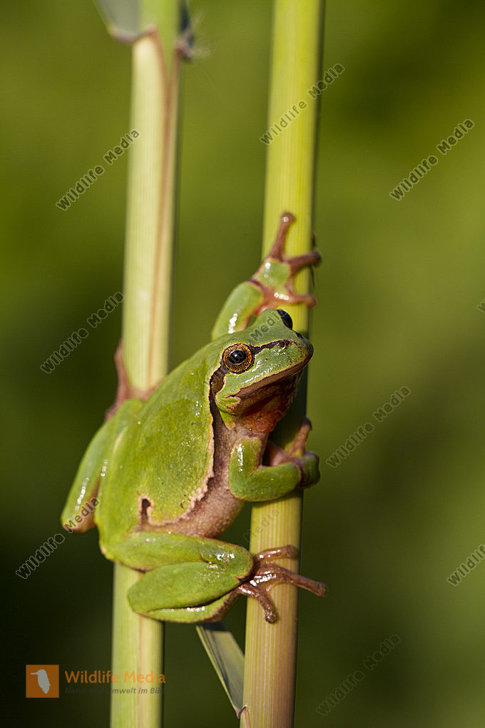 Laubfrosch / Common tree frog / hyla arborea