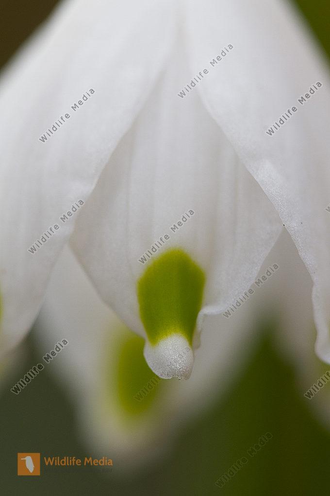 Märzenbecherblüte Schwäbische Alb