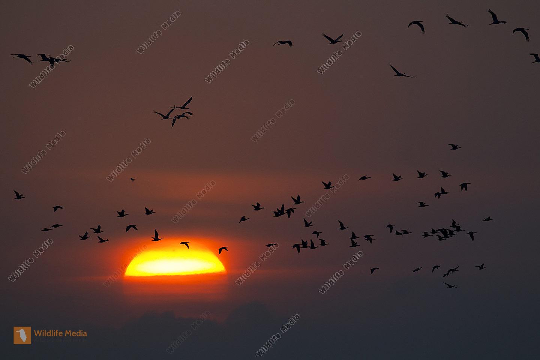 Kraniche und Gänse beim Sonnenaufgang