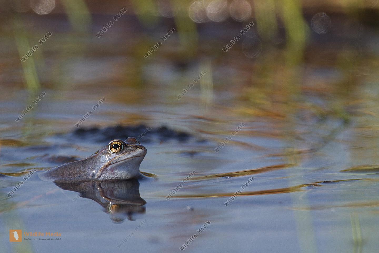 Moorfrosch in der Paarungszeit