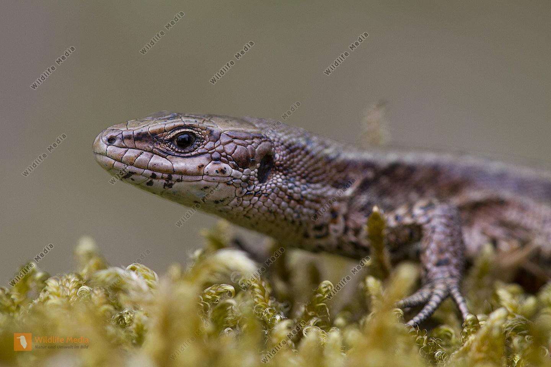 Waldeidechse / vivparous lizard / Lacerta vivipara