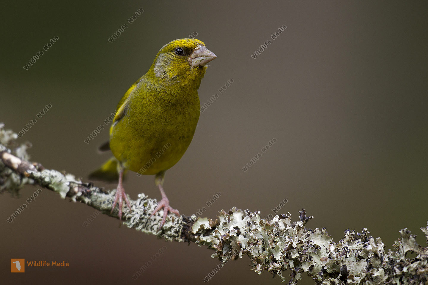 Grünfink / Chloris chloris / European greenfinch