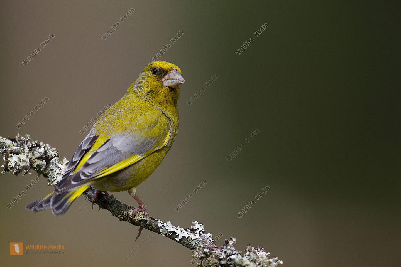 Grünfink / Chloris chloris / European greenfinch
