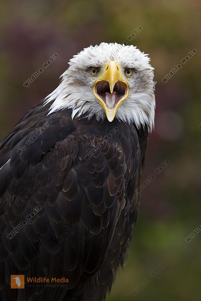 Weißkopf-Seeadler Haliaeetus leucocephalus American Bald Eagle