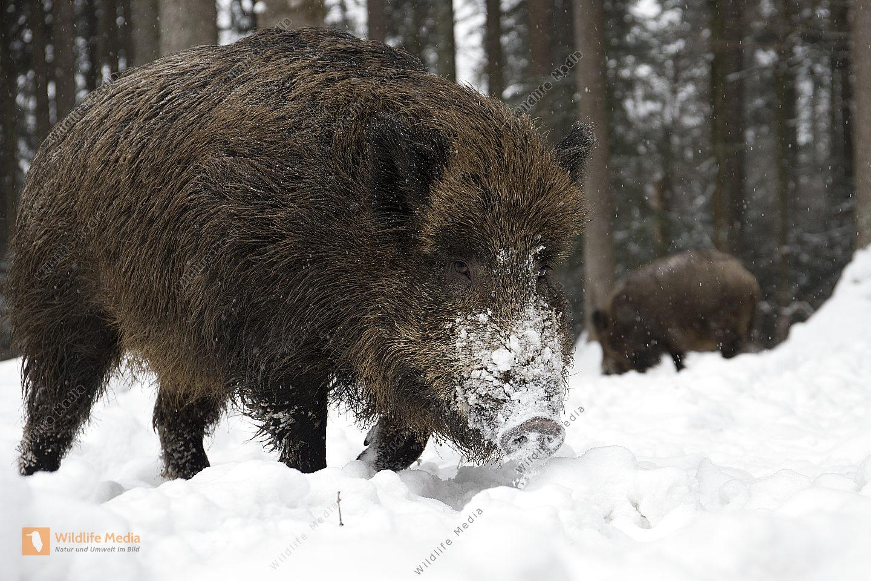 Wildschwein im Schnee Weitwinkelaufnahme