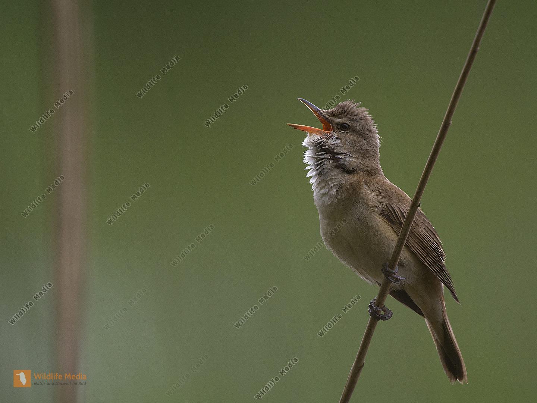 Drosselrohrsänger Acrocephalus arundinaceus