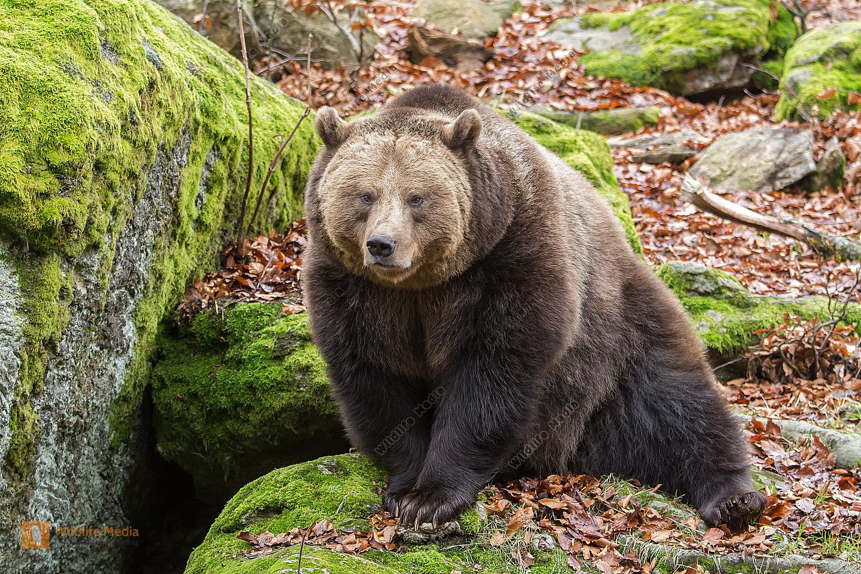 Braunbär Ursus arctos Brown Bear