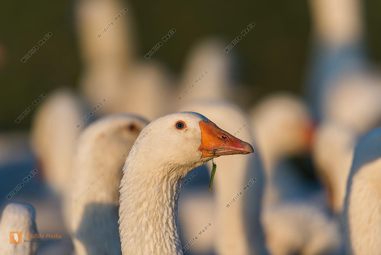 Hausgans anser anser House goose