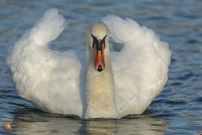 Hoeckerschwan Cygnus olor Mute Swan