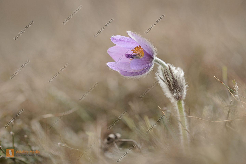 Kuhschelle-gew. Pusatilla vulgaris Pasque Flower