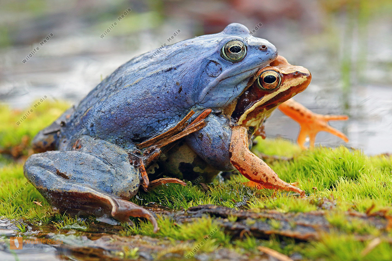 Moorfrosch Pärchen zur Laichzeit